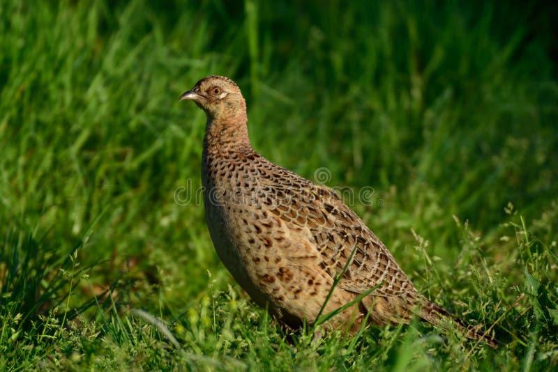 Женщина фазана на траве стоковое изображение rf