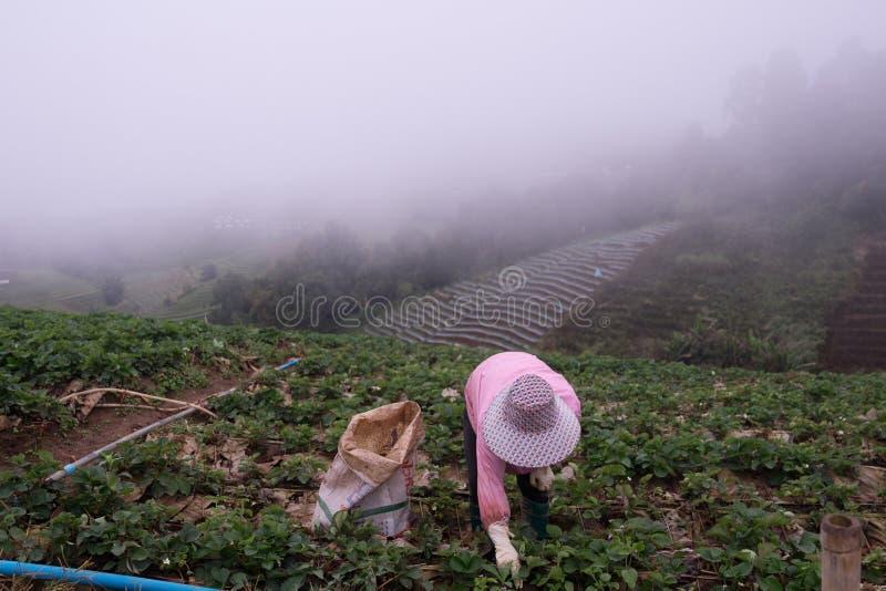 Женщина фермера жала клубники на горе в тумане утра на ушате Berk Phu в Таиланде, стоковое фото rf