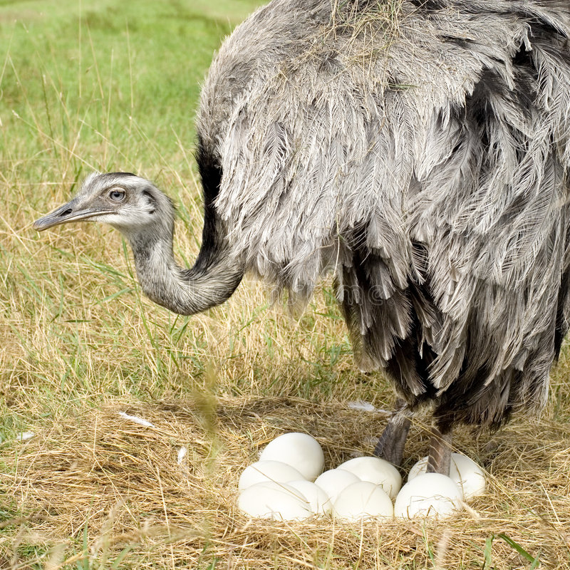 женщина emu стоковое изображение