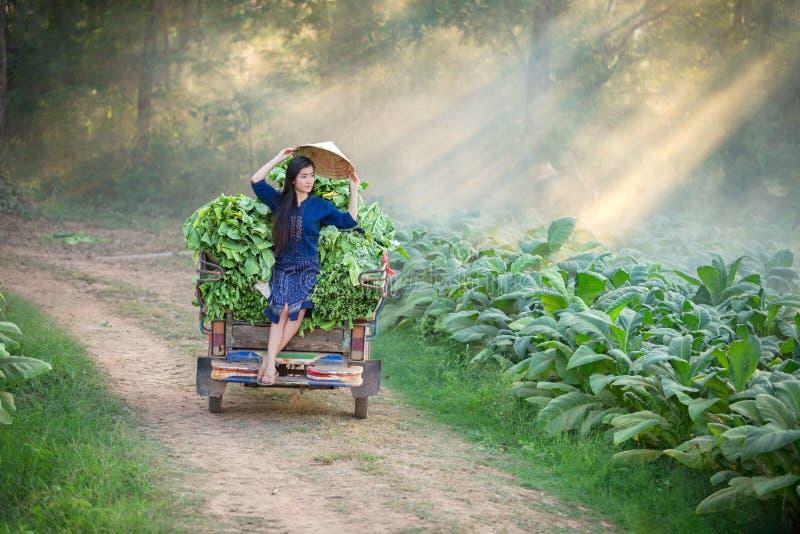 Женщина Lao обрабатывает землю в поле лист табака Ослаблять в tob стоковые изображения