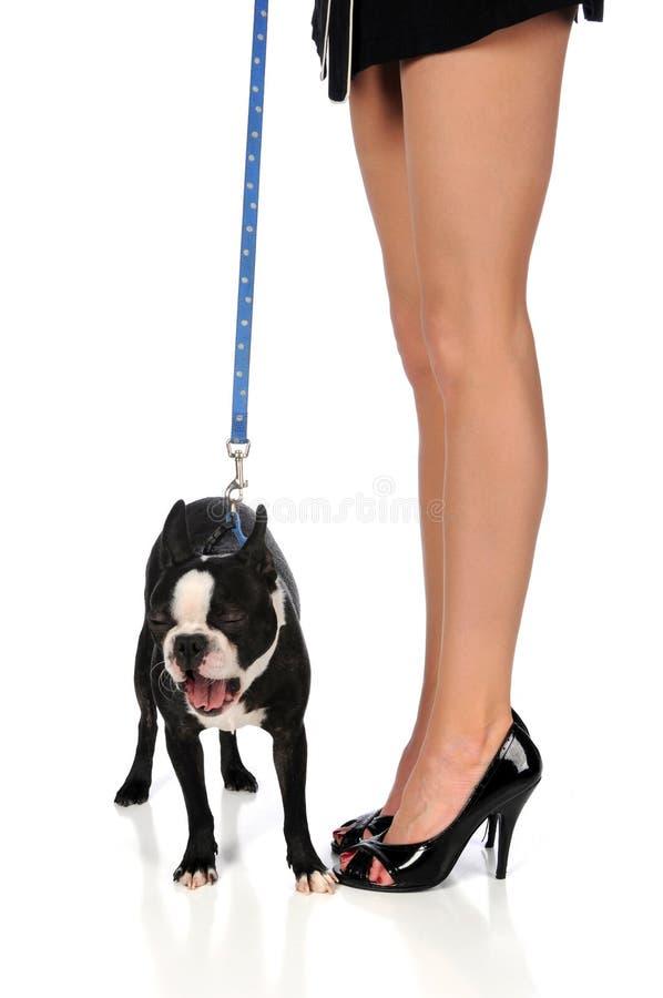 женщина terrier ног s boston зевая стоковое фото