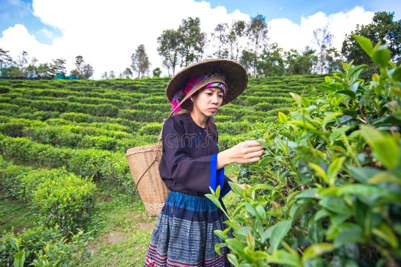 Женщины Азии выбирали листья чая стоковое изображение