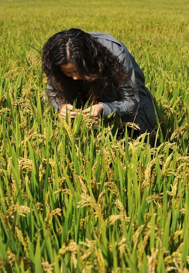 Женщины в поле риса стоковое фото rf