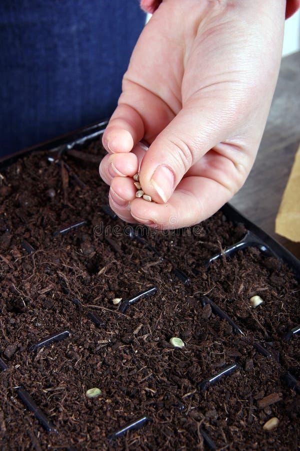 Женщины засаживая vegetable семена близко вверх стоковые изображения rf