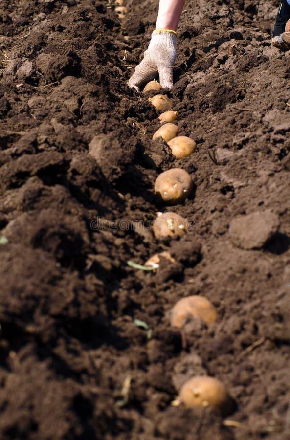 Женщины засуя картошку, осеменяя процесс. стоковое фото