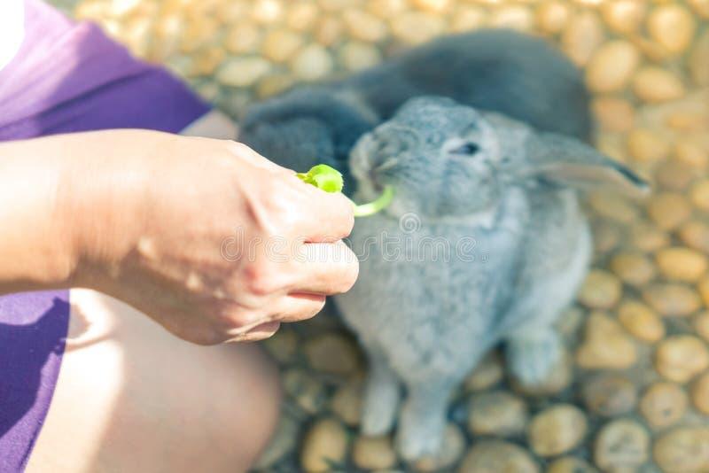 Женщины кормить кролика еды с небольшим овощем Селективное focu стоковые изображения