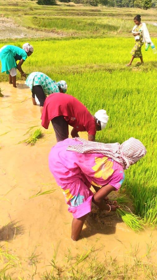 Женщины работая в поле риса стоковое изображение