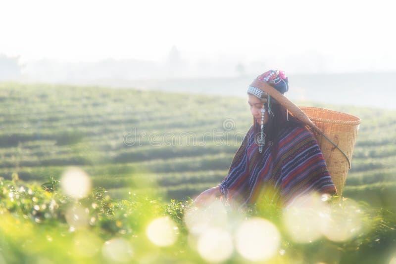 Женщины работника Азии выбирали листья чая для традиций на плантации чая в природе сада стоковое изображение