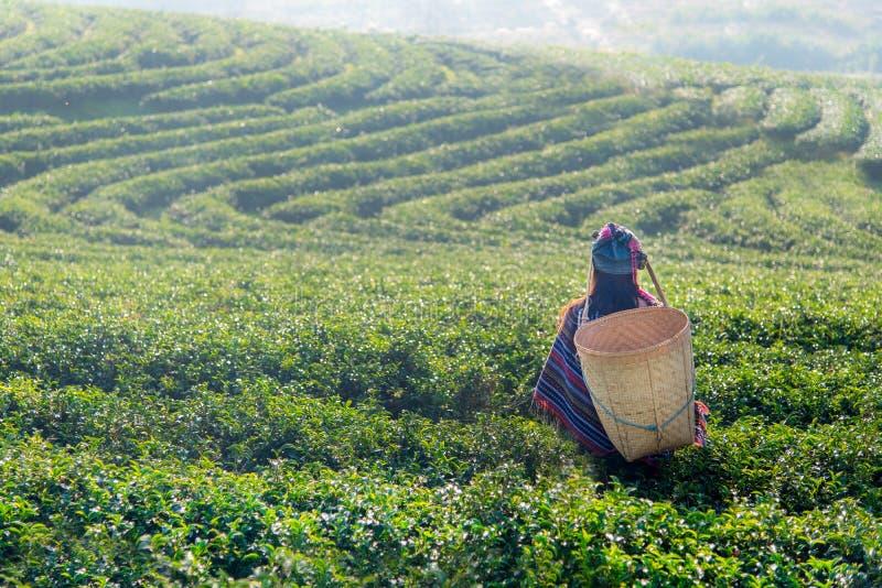Женщины работника Азии выбирали листья чая для традиций стоковое фото rf
