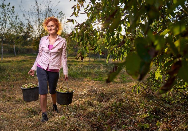Женщины собирают грецкие орехи стоковое изображение rf