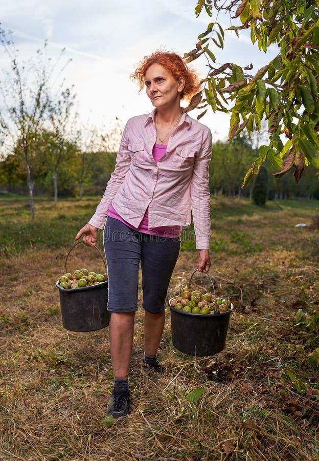 Женщины собирают грецкие орехи стоковое изображение