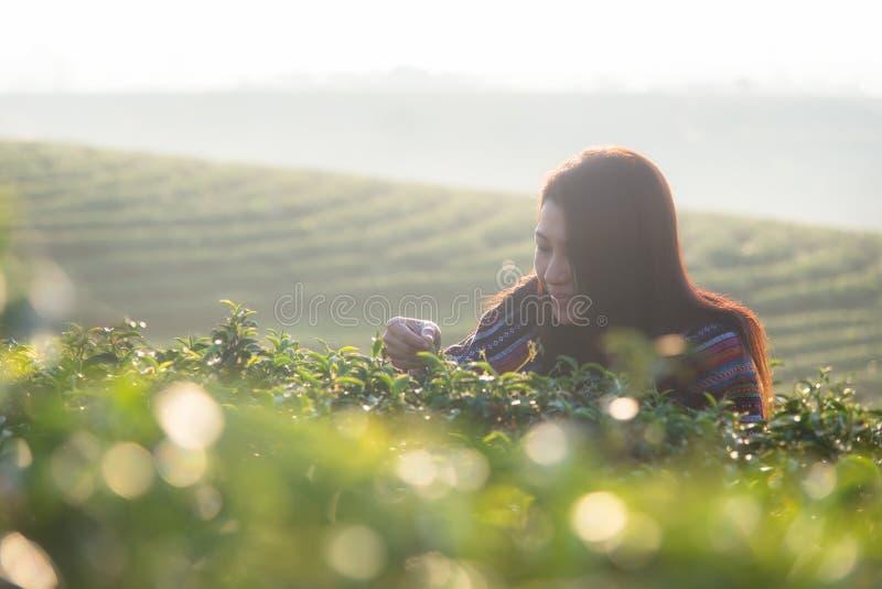 Женщины фермера работника Азии выбирали листья чая для традиций в утре восхода солнца на природе плантации чая стоковое изображение rf