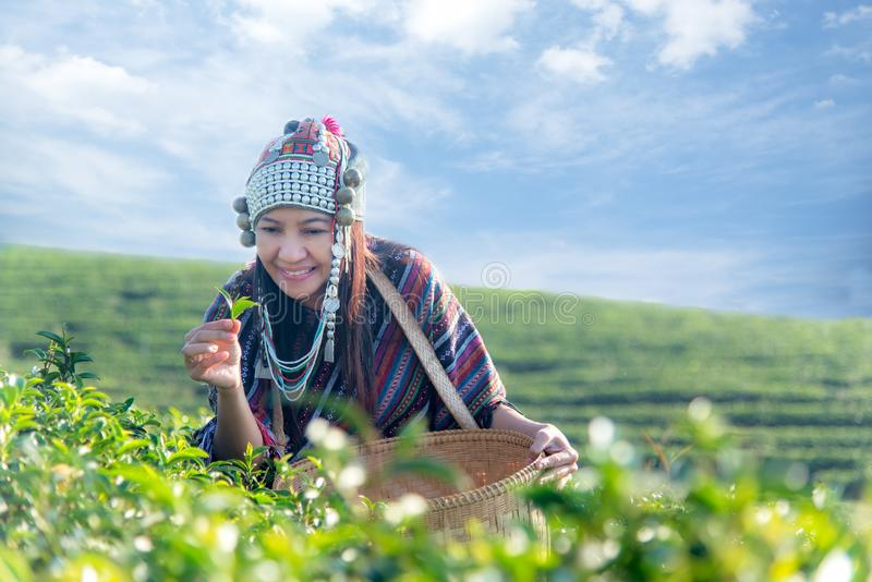 Женщины фермера работника Азии выбирали листья чая для традиций в утре восхода солнца на плантации чая стоковые фотографии rf