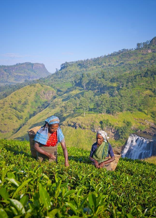 Женщины Sri Lankan выбирая листья чая стоковое изображение rf