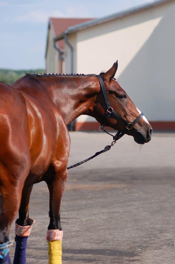 Жеребец Брайна Портрет лошади спорт коричневой стоковая фотография rf