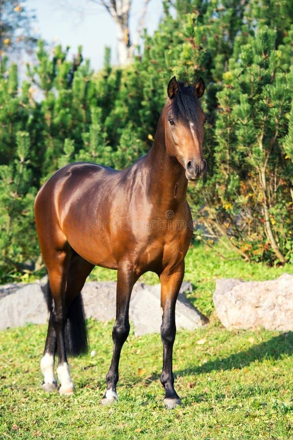 Жеребец пони валийца темного залива sportive представляя против сосен стоковое фото