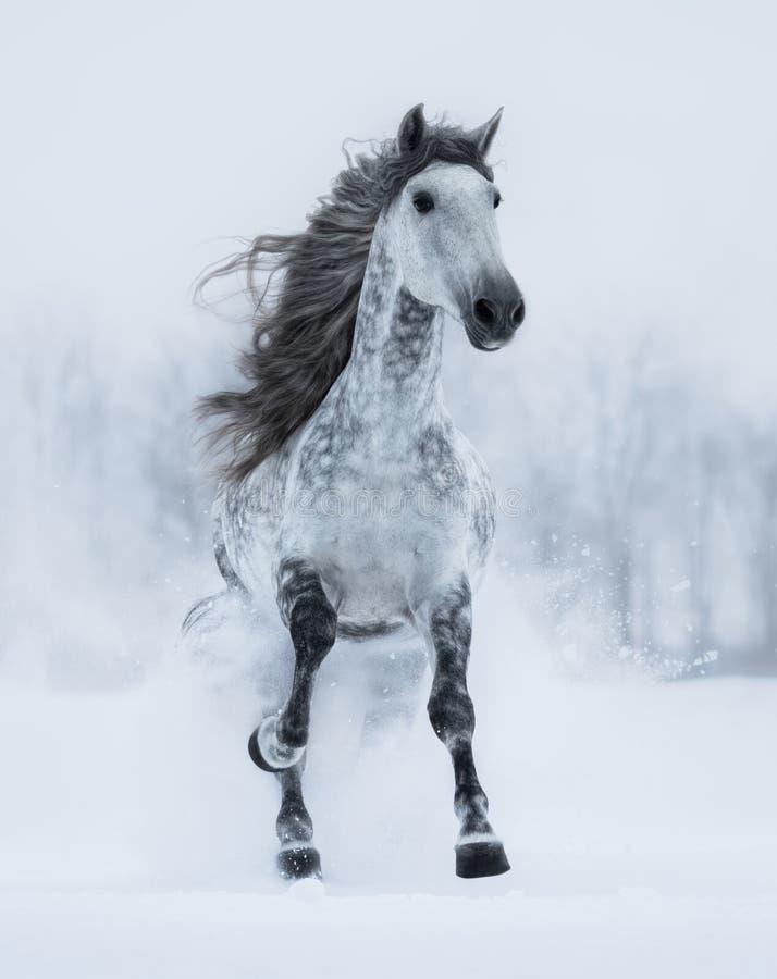 Жеребец Runnig dapple-серый длинн-с гривой в зиме стоковые изображения