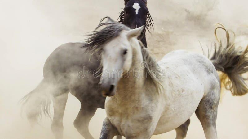Жеребцы, дикие мустанги пробуют преобладать бассейны, соединенный бой соперников которые затуют слишком близкую в пустыне Невады, стоковая фотография