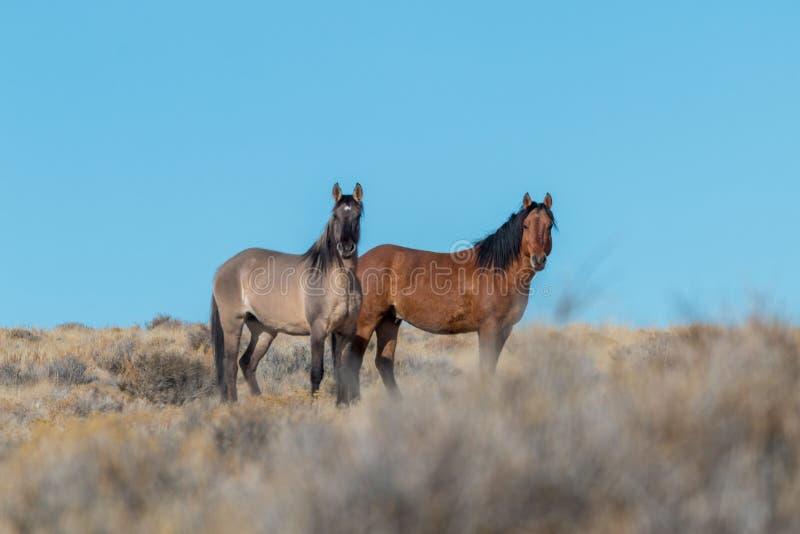 Жеребцы дикой лошади в пустыне стоковое фото rf