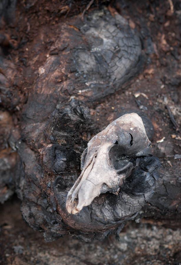 Жертвы огня Буша - череп койота стоковое фото rf