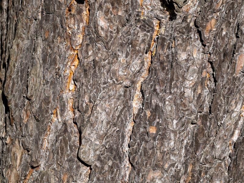 Жесткие полоски проходят по всей шероховатой поверхности сосны сверху вниз стоковые фото