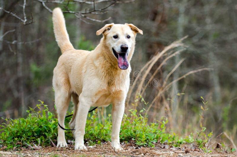 Желтая лайка Retriever Лабрадора сибирская смешала собаку породы стоковые изображения