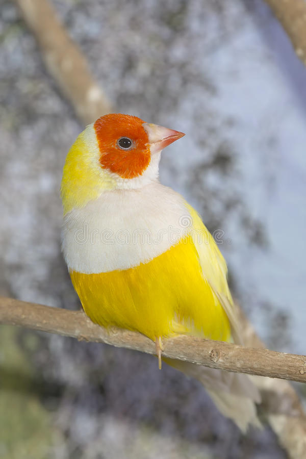 Желтая дама Gouldian Зяблик стоковая фотография