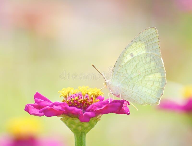 Желтая бабочка монарха стоковые изображения