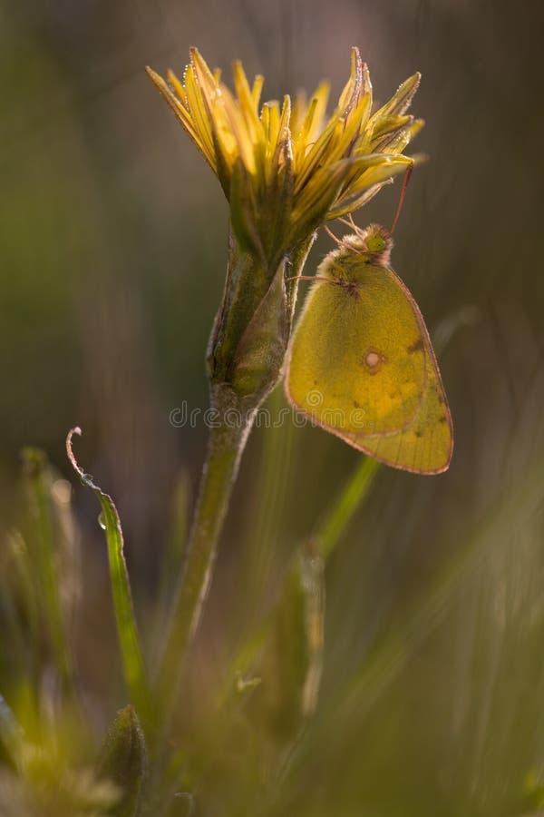 Желтая бабочка на желтом цветке стоковые изображения rf