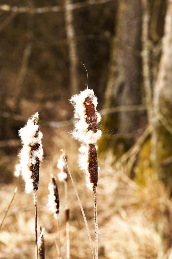 Желтая весна тростников стоковые фото