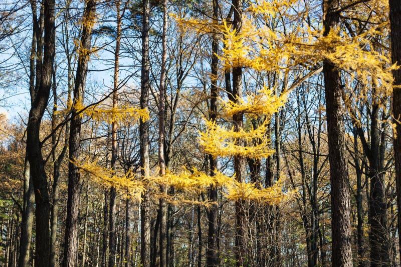 Желтая ветвь дерева лиственницы в лесе в осени стоковые изображения