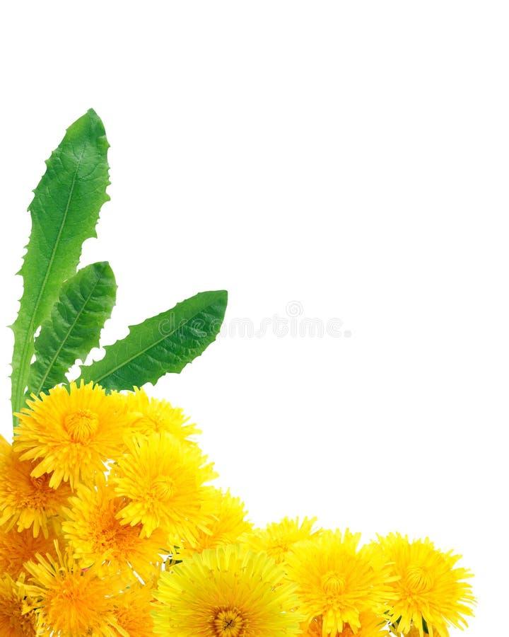Желтая граница одуванчиков стоковая фотография
