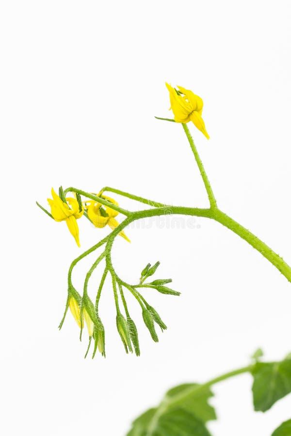 Желтая группа цветка томата стоковые фото