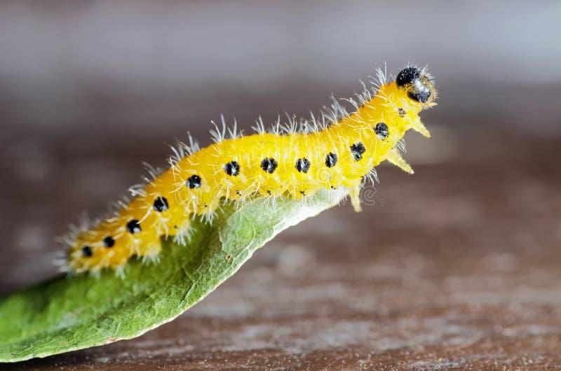 Желтая гусеница стоковое изображение rf
