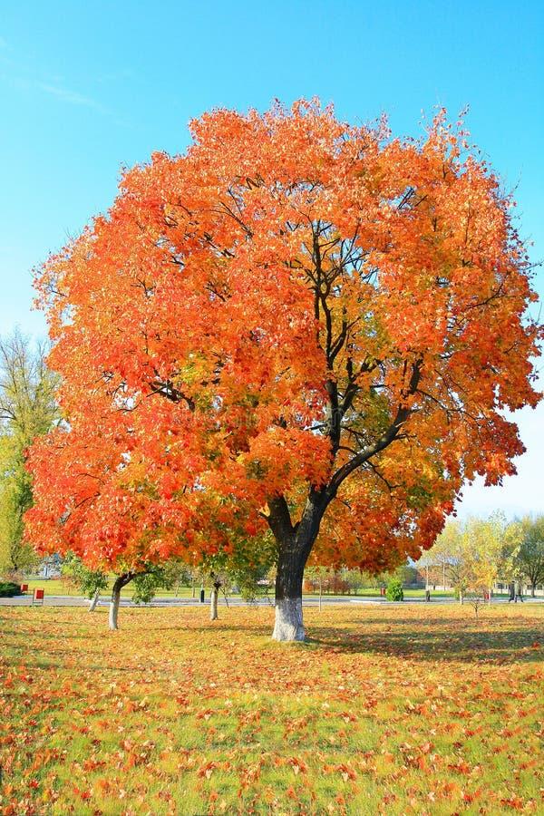 Желтая листва осени на дереве стоковое изображение rf