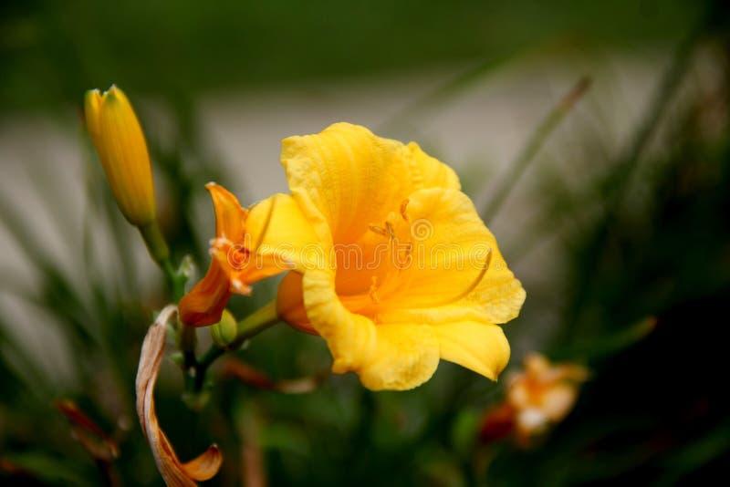 Желтая лилия стоковое фото rf
