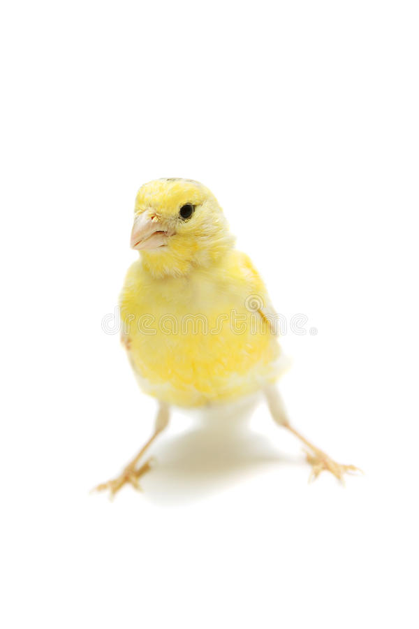 Желтая канерейка на белизне стоковое фото rf
