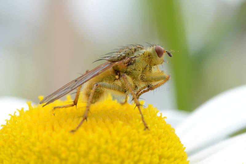 Желтая муха навоза стоковое изображение