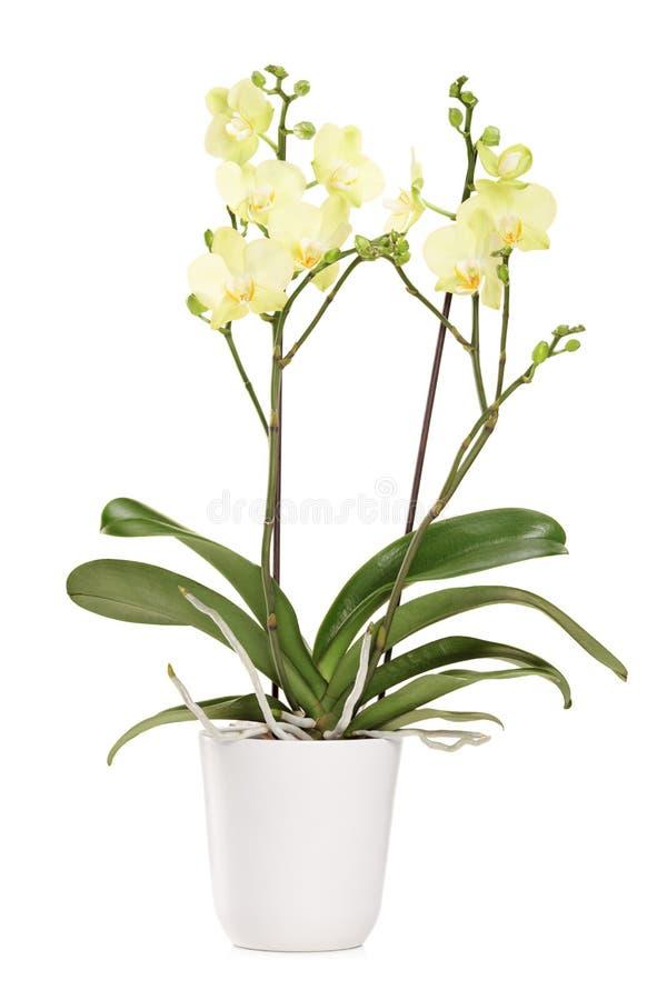 Желтая орхидея в белом баке с много цветков стоковые изображения