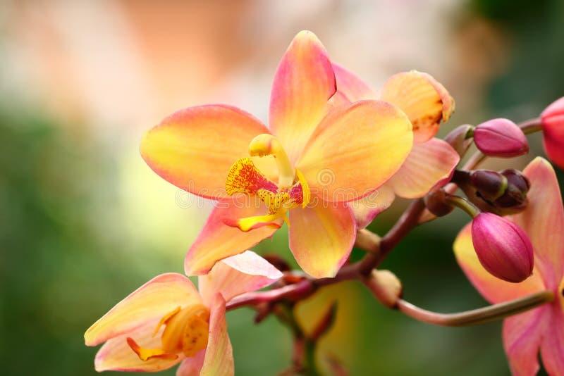 Желтая орхидея для картины и предпосылки стоковое фото rf