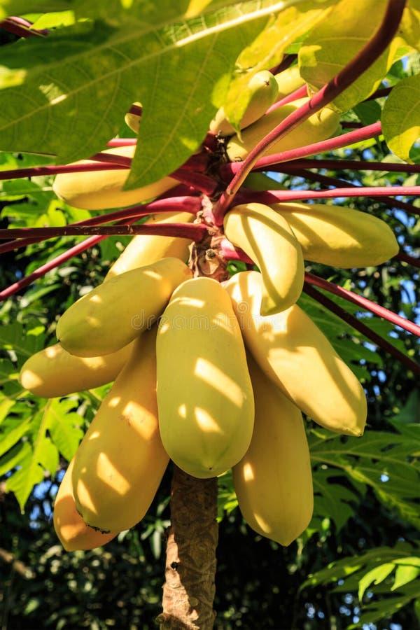 Желтая папапайя стоковые фото