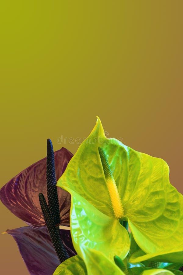 Желтая предпосылка с 2 цветами callas стоковые изображения