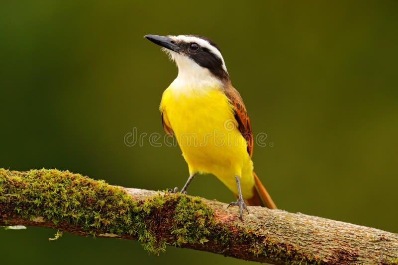 Желтая птица от Коста-Рика Tanager большого sulphuratus Kiskadee, Pitangus, коричневых и желтых троповый с темным ым-зелен лесом  стоковое изображение rf