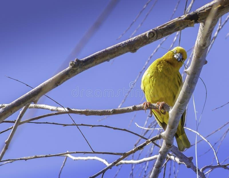 Желтая птица ткача стоковые изображения