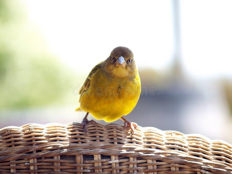 Желтая птица стоковое изображение rf