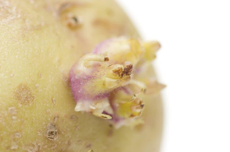 Желтая свежая сырая картошка на белой предпосылке Макрос стоковое фото rf