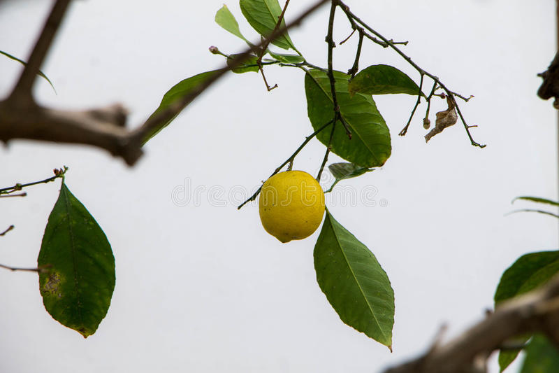 Желтая смертная казнь через повешение лимона на дереве на пасмурный день стоковое изображение rf