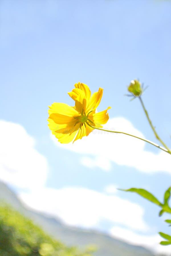 Желтая смесь семьи цветка космоса стоковые фотографии rf