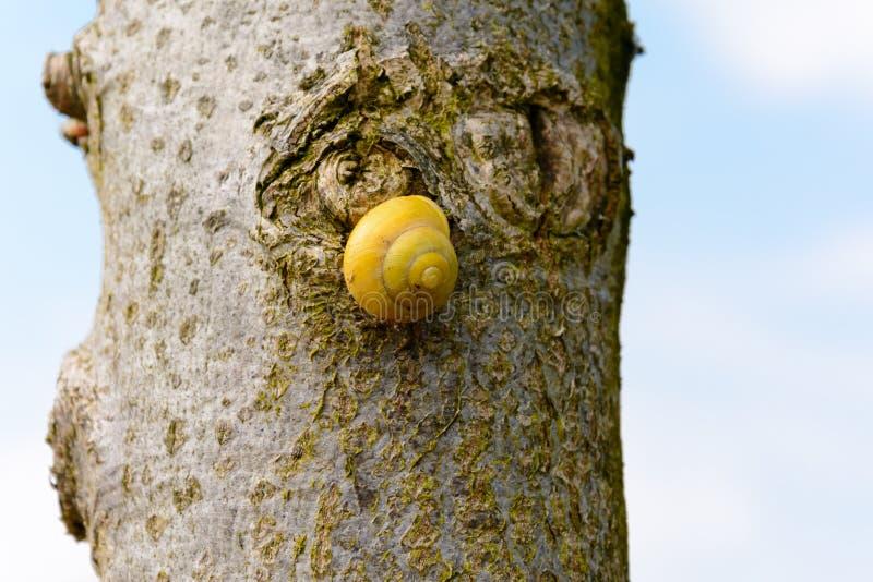 Желтая улитка на дереве стоковое изображение