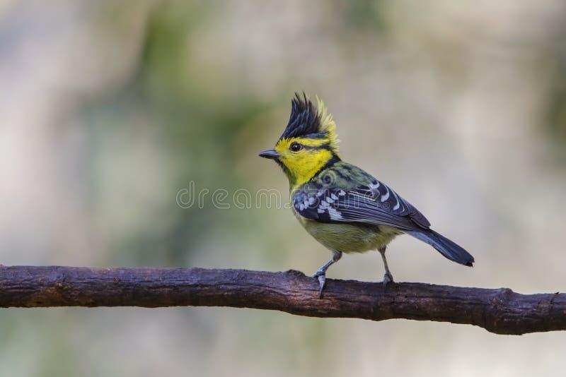 Желтая-cheeked синица стоковые фотографии rf
